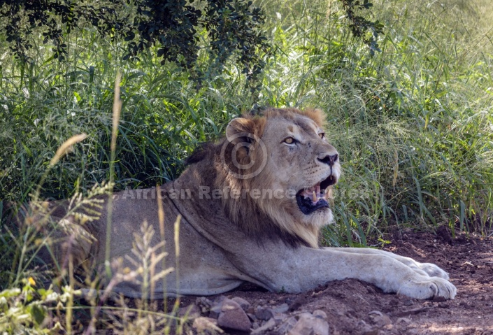 Lion Male Resting in Shade