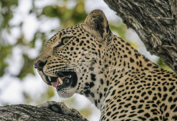 Leopard in Tree, close-up