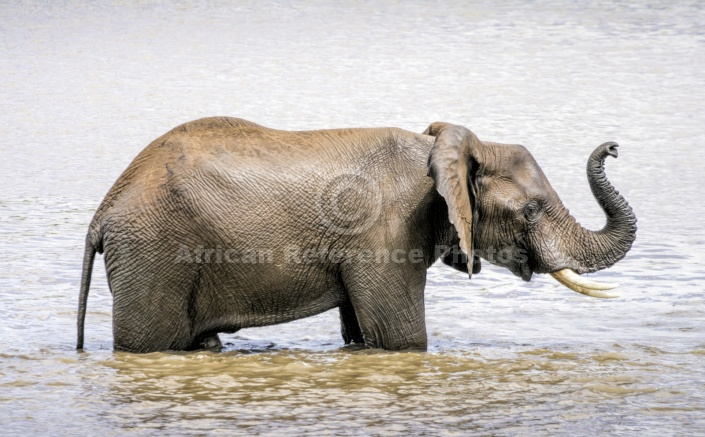 Elephant Standing in Water