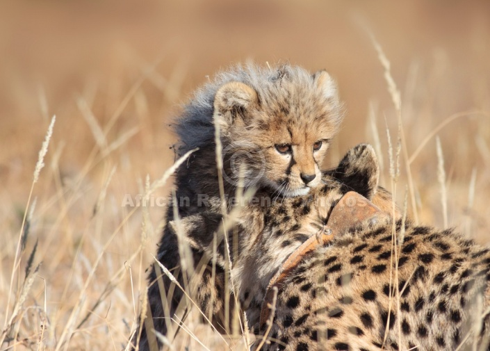 Cheetah Cub Climbing on to Mother's Head