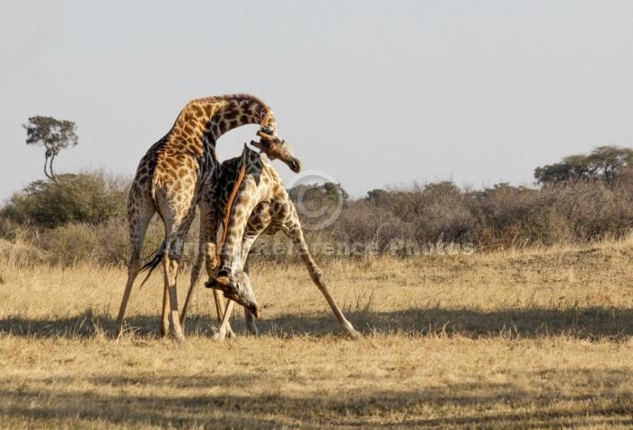 Giraffes Neck Slamming Reference Picture