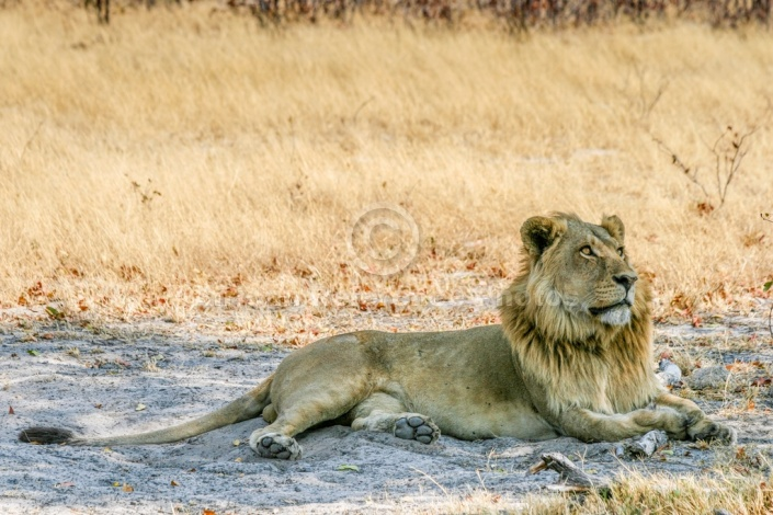 Young Lion Male Lying in Shade