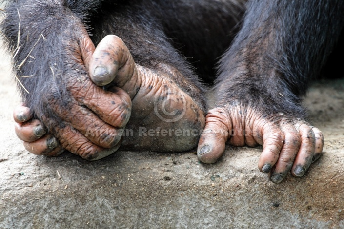 Chimpanzee Hands and Foot