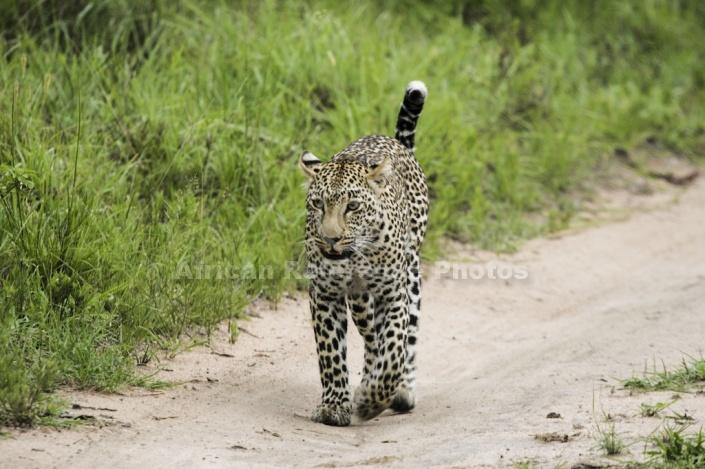 Leopard Walking along Path