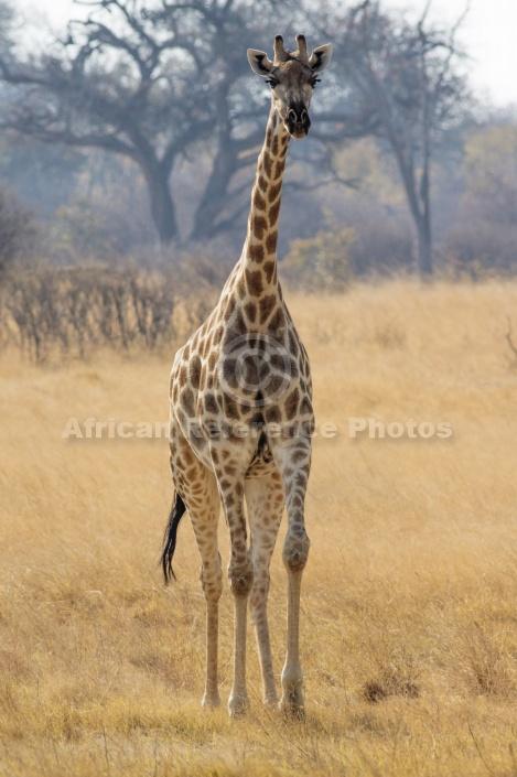 Giraffe Front-on View