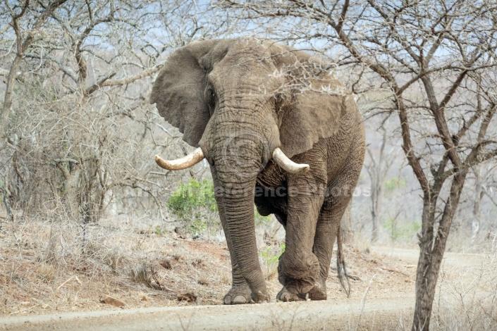 Elephant Male Walking