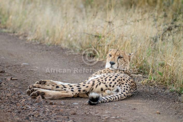 Male Cheetah at Dusk