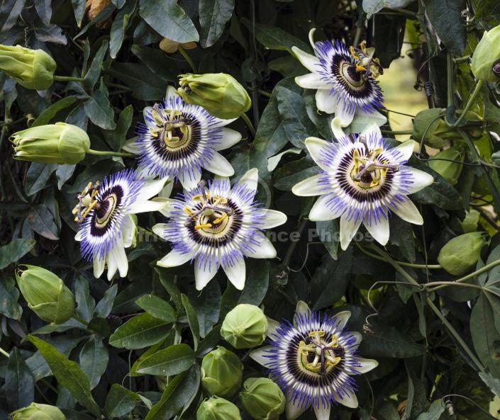 Granadilla Flower