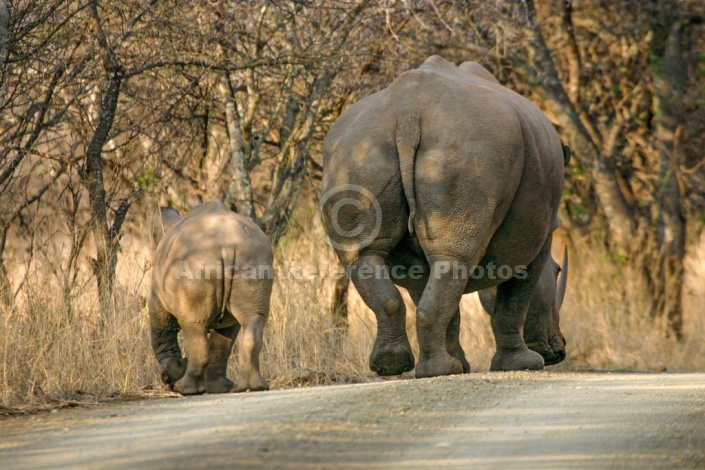 White Rhinoceros Mother and Calf Walking