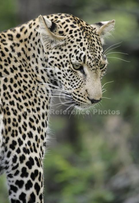 Leopard Looking Down