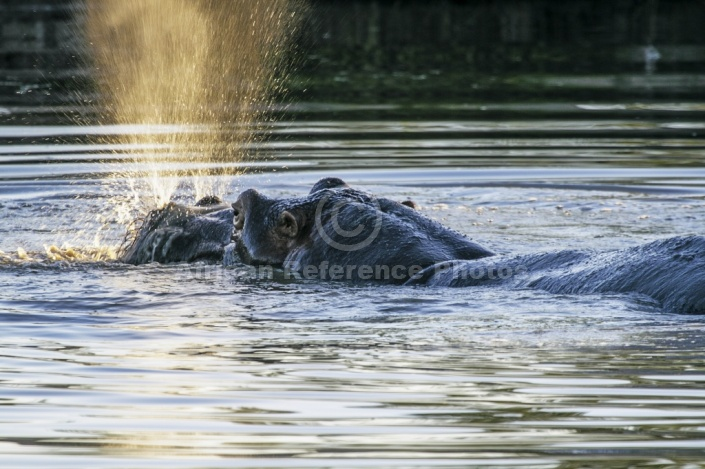 Hippo Exhaling Explosively