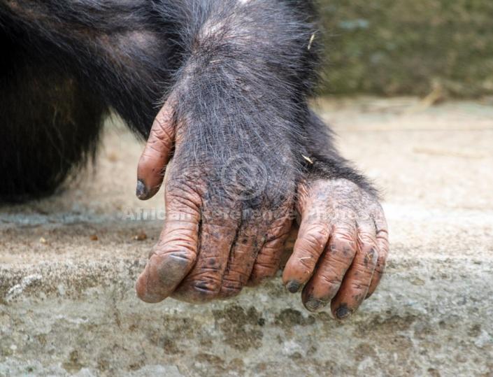 Chimpanzee Hands, Close-Up