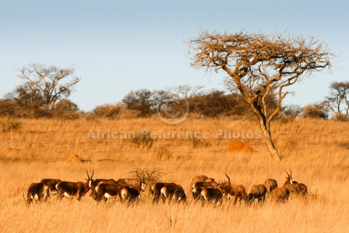 African Acacia Trees and Grazing Blesbok