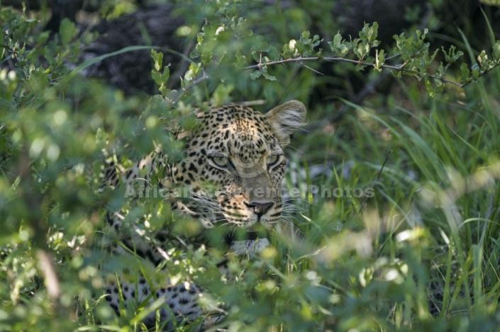 Leopard Peering from Green Vegetation