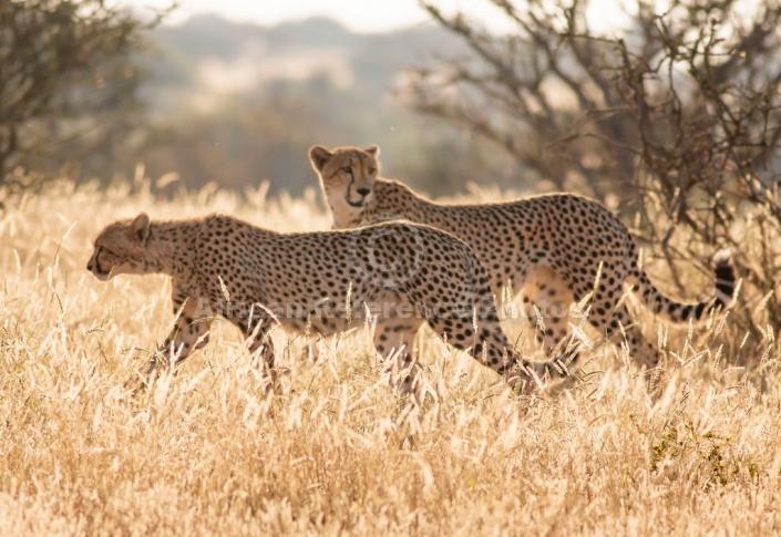 Cheetah in Morning Light