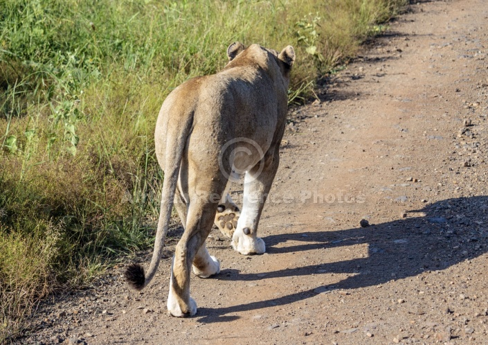 Lioness Walking Away from Camera