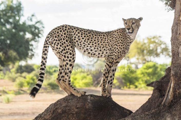 Cheetah on Tree Stump