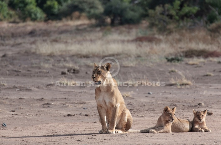 Lioness and Cubs Reference Picture
