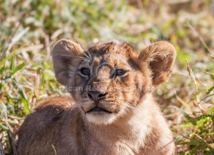 Young Lion Cub, Close-up of Head and Torso