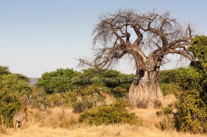 Baobab Tree with Giraffes