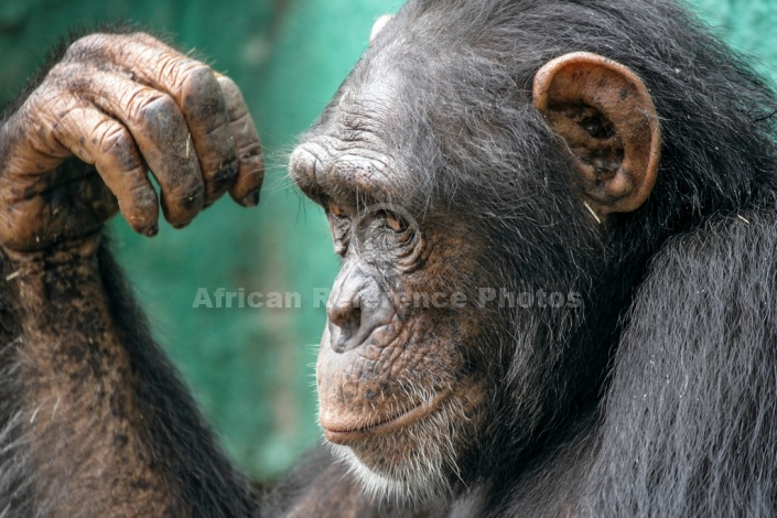 Chimpanzee Close-up, Side-on View