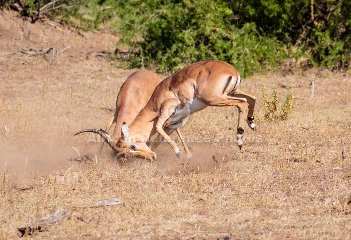Impala Rams Fighting