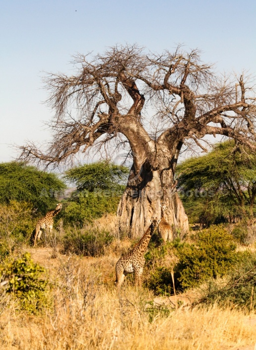 Baobab Tree with giraffe in Foreground
