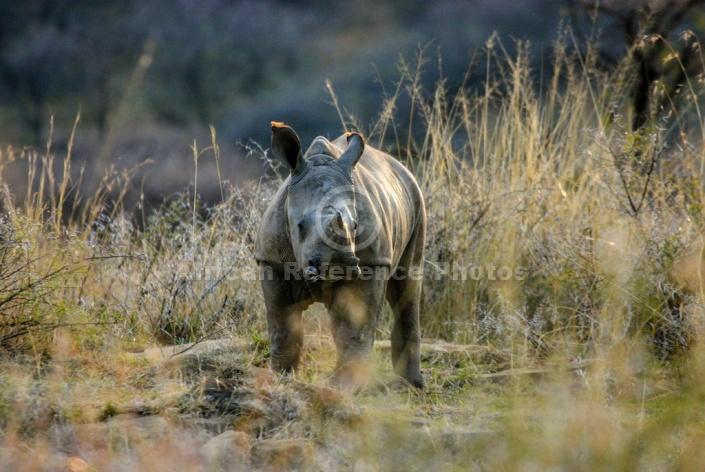 White Rhinoceros Baby