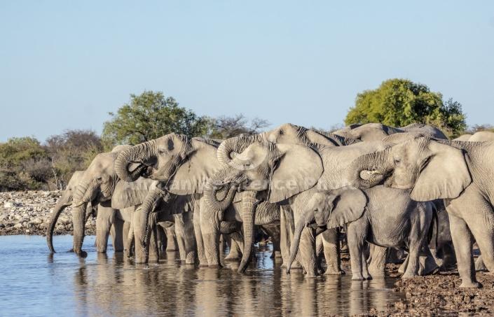 Elephants Slaking Thirst