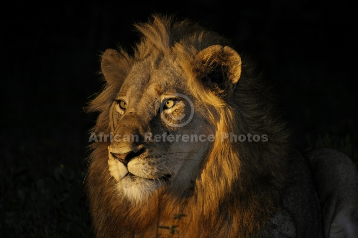Lion Portrait at Night