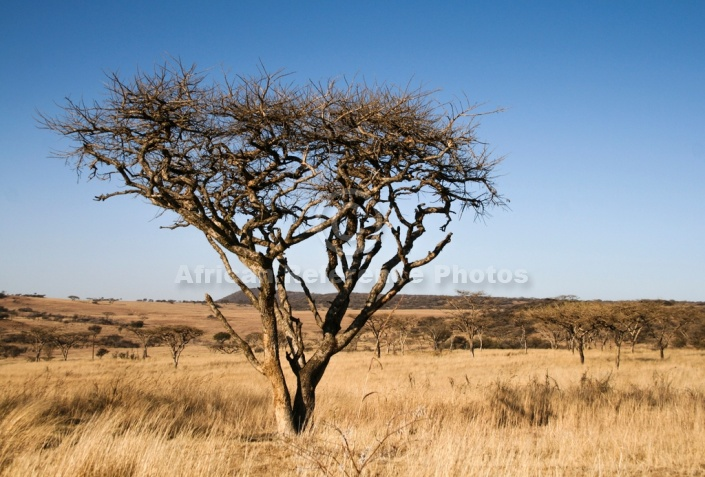Acacia Tree in Winter Thornveld
