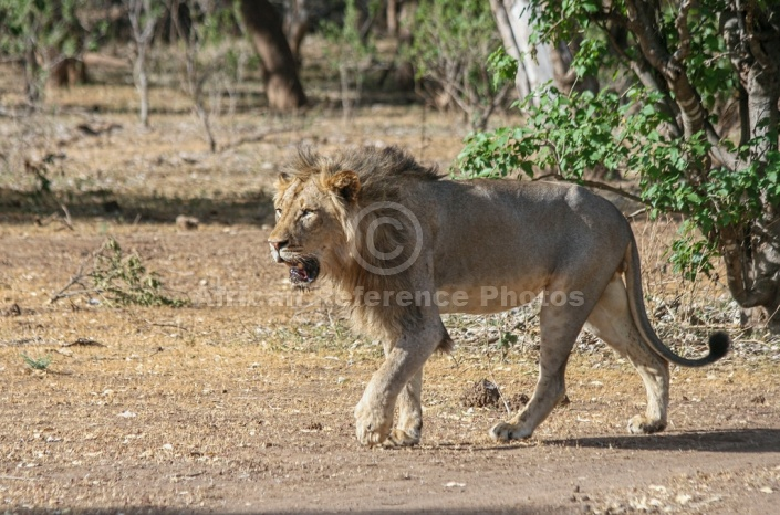 Lion Male Walking, Side View – African Reference Photos ... - photo#24