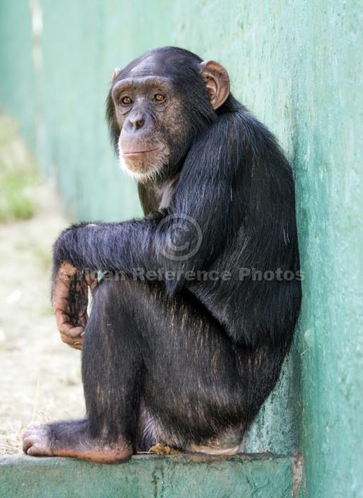 Captive Chimpanzee