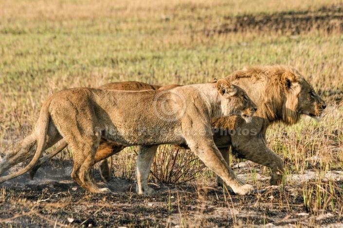 Lion Pair Striding Out
