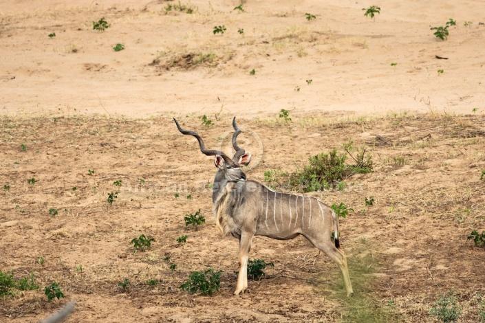 Kudu Bull, Kruger National Park