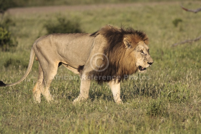 Lion Male Walking, Side View