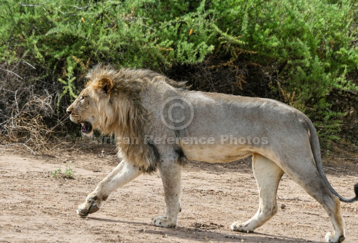 Profile of Male Lion Walking