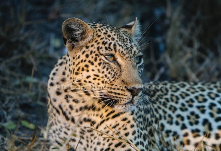 Leopard Close-up