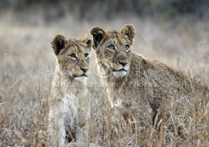 Young Lions on Alert