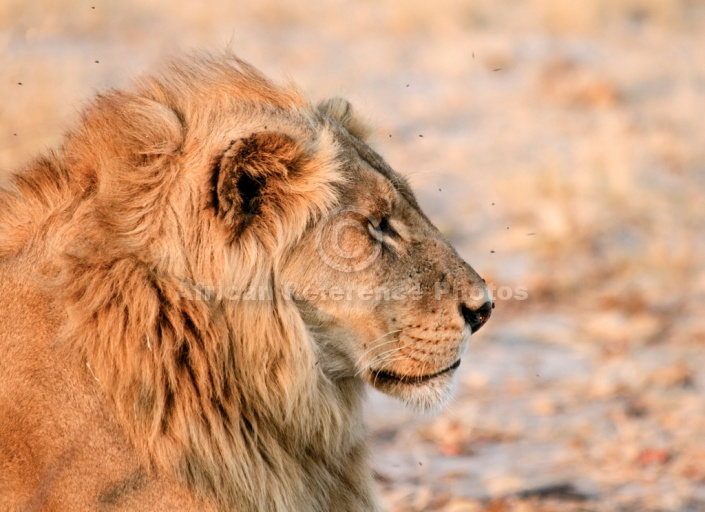 Portrait of Male Lion, Profile View