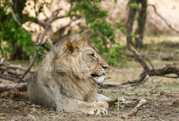 Lion Male Resting in Shady Spot