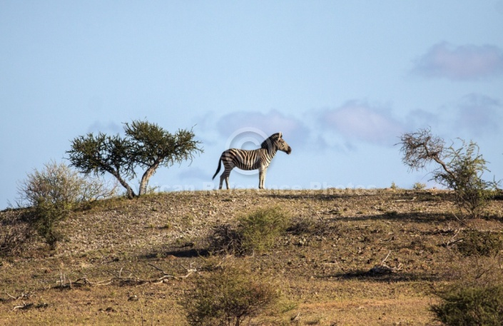 Zebra Standing on Skyline