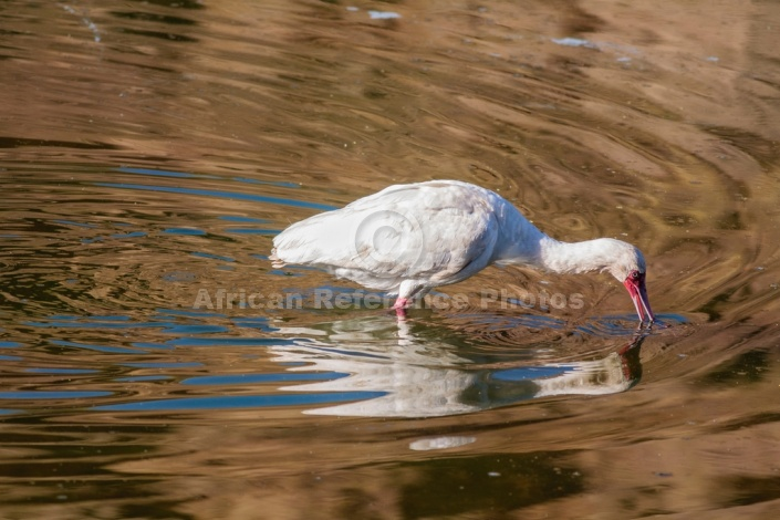 African Spoonbill with Bill in Water