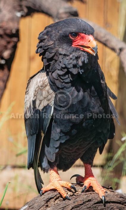 Bateleur Eagle, Captive Specimen