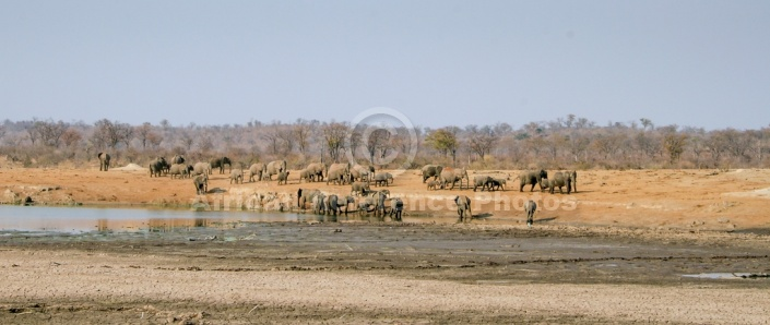 Scenic of Elephants Coming  Down to Drink