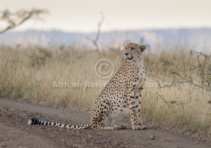 Male Cheetah at Dusk