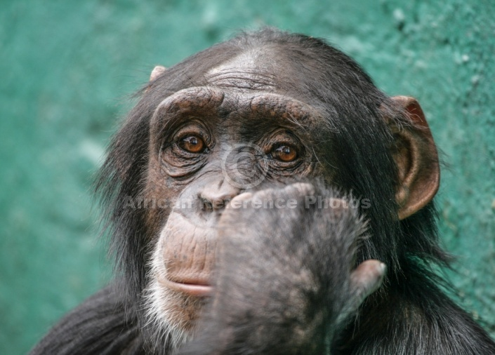 Chimpanzee Head Shot
