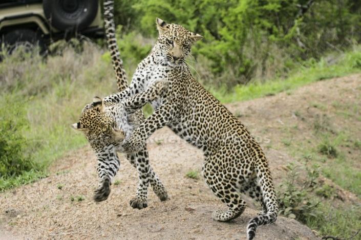 Leopards Practising Hunting Skills