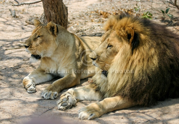 Lion Pair Lying Together