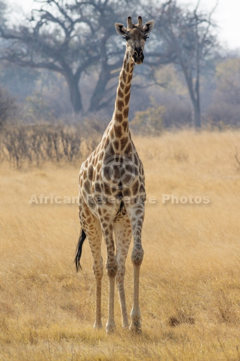 Giraffe Front-on View